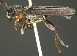 Image of <i>Oberea ruficollis</i> (Fabricius 1793)