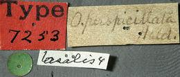 Image of <i>Oberea bimaculata</i> (Olivier 1795)