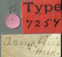 Image of <i>Oberea tripunctata</i> (Swederus 1787)