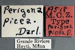 Image of <i><i>Perigona</i></i> (Perigona) <i>picea</i> Darlington 1934