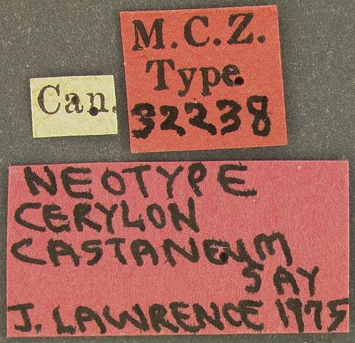 Image of <i>Cerylon castaneum</i> Say 1826
