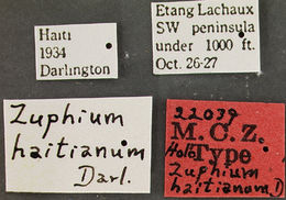Image of <i>Zuphium haitianum</i> Darlington 1935