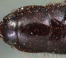 Image of <i><i>Pseudomorpha</i></i> (Pseudomorpha) <i>caribbeana</i> Darlington 1936