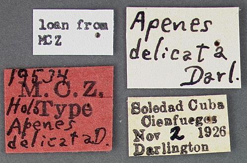 Image of <i><i>Apenes</i></i> (Apenes) <i>delicata</i> Darlington 1934