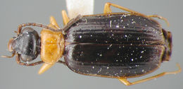Image of <i>Pentagonica nigricornis</i> Darlington 1934