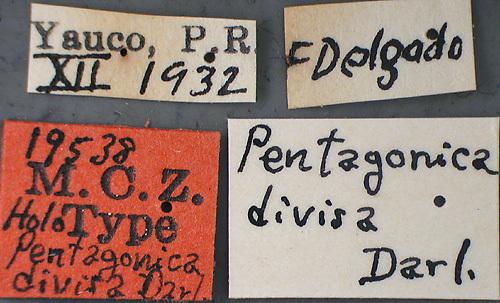 Image of <i>Pentagonica divisa</i>