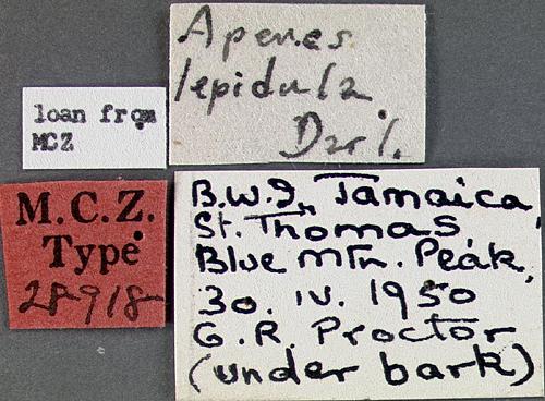 Image of <i><i>Apenes</i></i> (Apenes) <i>lepidula</i> Darlington 1934