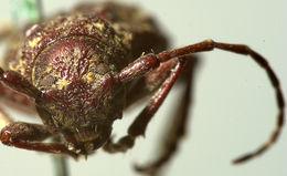 Image of <i>Plectrura spinicauda</i> Mannerheim 1852