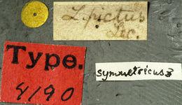 Image of <i>Lepturges pictus</i> (Le Conte 1852)