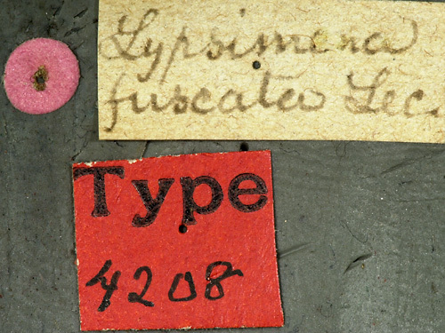 Image of <i>Lypsimena fuscata</i> Haldeman 1847