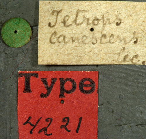 Image of <i>Phaea canescens</i> (Le Conte 1852)