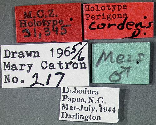 Image of <i>Perigona</i> (<i>Trechicus</i>) <i>cordens</i> Darlington 1968
