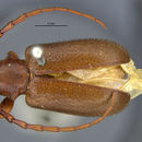 Image of <i>Peritapnia fabra</i> Horn 1894