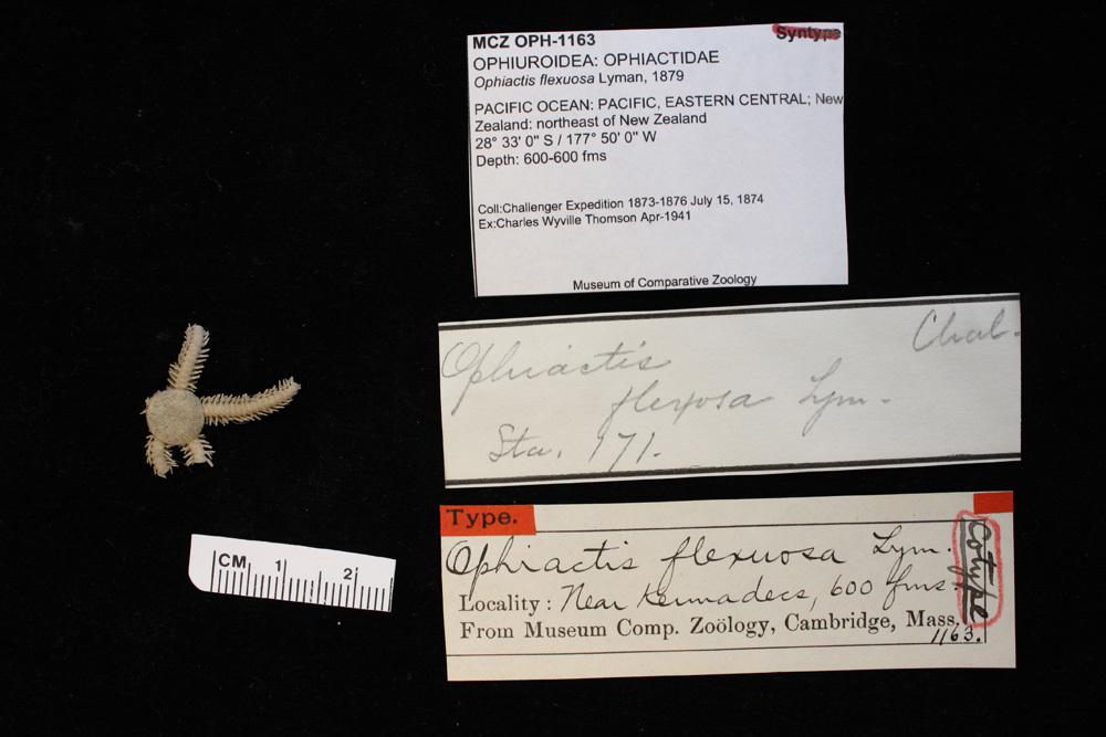 Image of <i>Ophiactis flexuosa</i> Lyman 1879