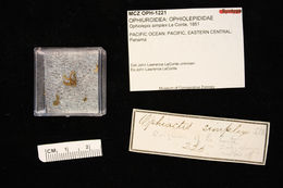 Image of <i>Ophiactis simplex</i> (Le Conte 1851)