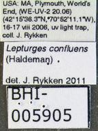 Image of <i>Lepturges confluens</i> (Haldeman 1847)