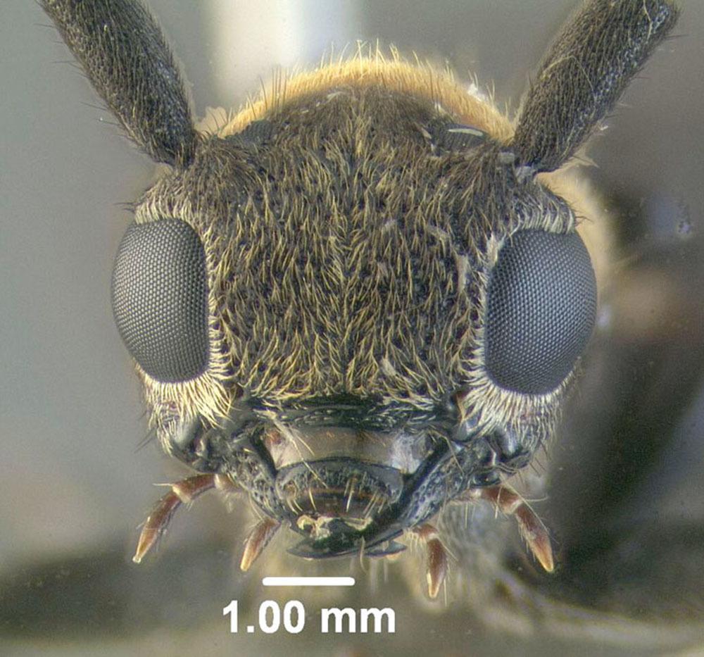 Image of <i>Oberea affinis</i> Harris 1841