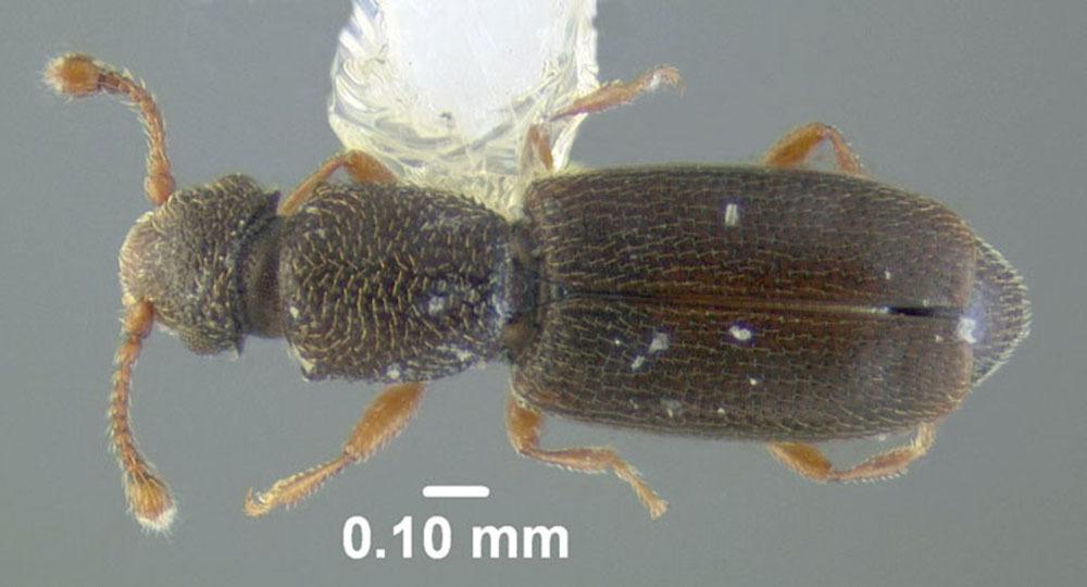 Image of <i>Monotoma longicollis</i> (Gyllenhal 1827)