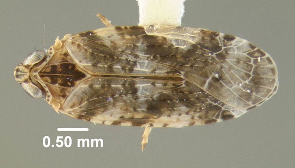 Image of <i>Catonia cinctifrons</i> (Fitch 1856)