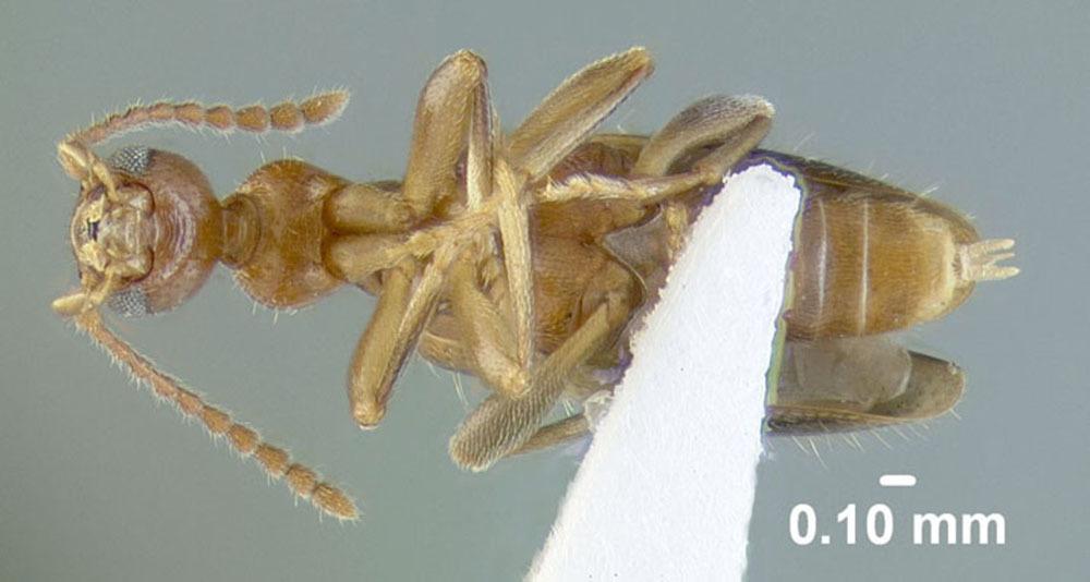 Image of <i>Malporus formicarius</i> (La Ferté-Sénectère 1849)