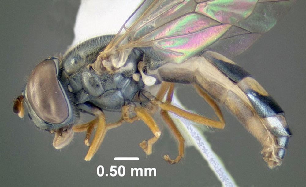 Image of <i>Melanostoma mellinum</i> (Linnaeus 1758)