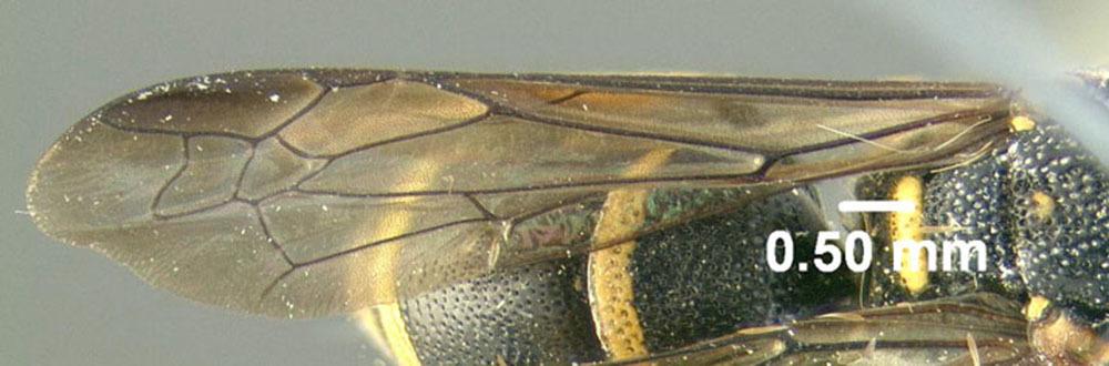 Image of <i>Parancistrocerus pedestris</i> (de Saussure 1856)