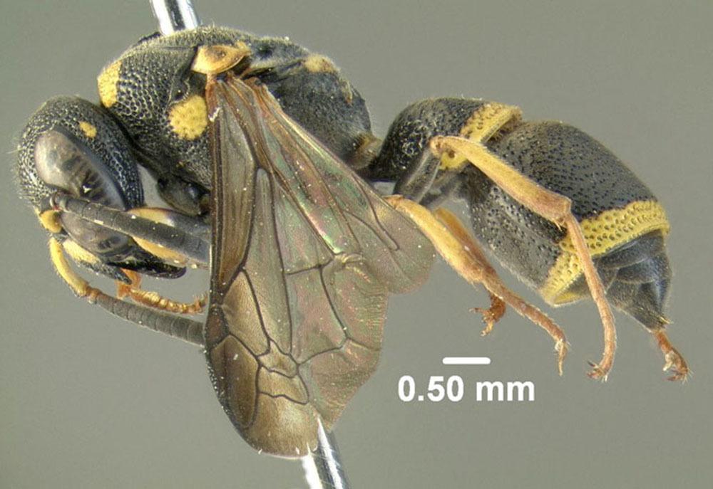 Image of <i>Parancistrocerus perennis</i> (de Saussure 1857)