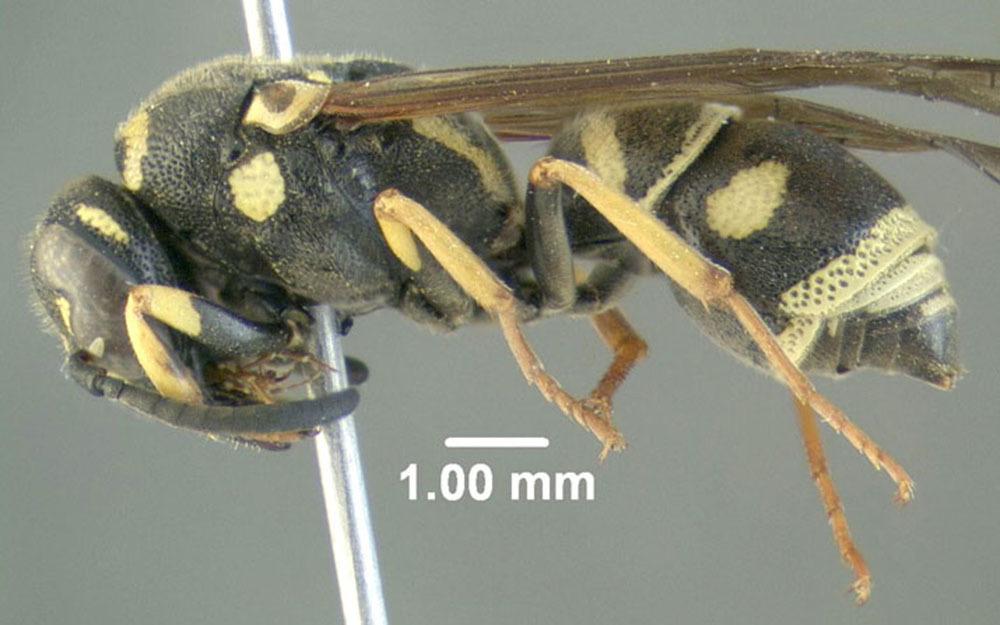 Image of <i>Parancistrocerus bicornis</i> (Roberts 1901)