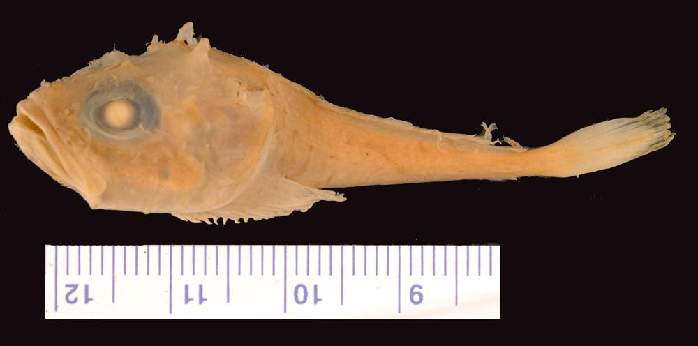 Image of <i>Cottunculus torvus</i>