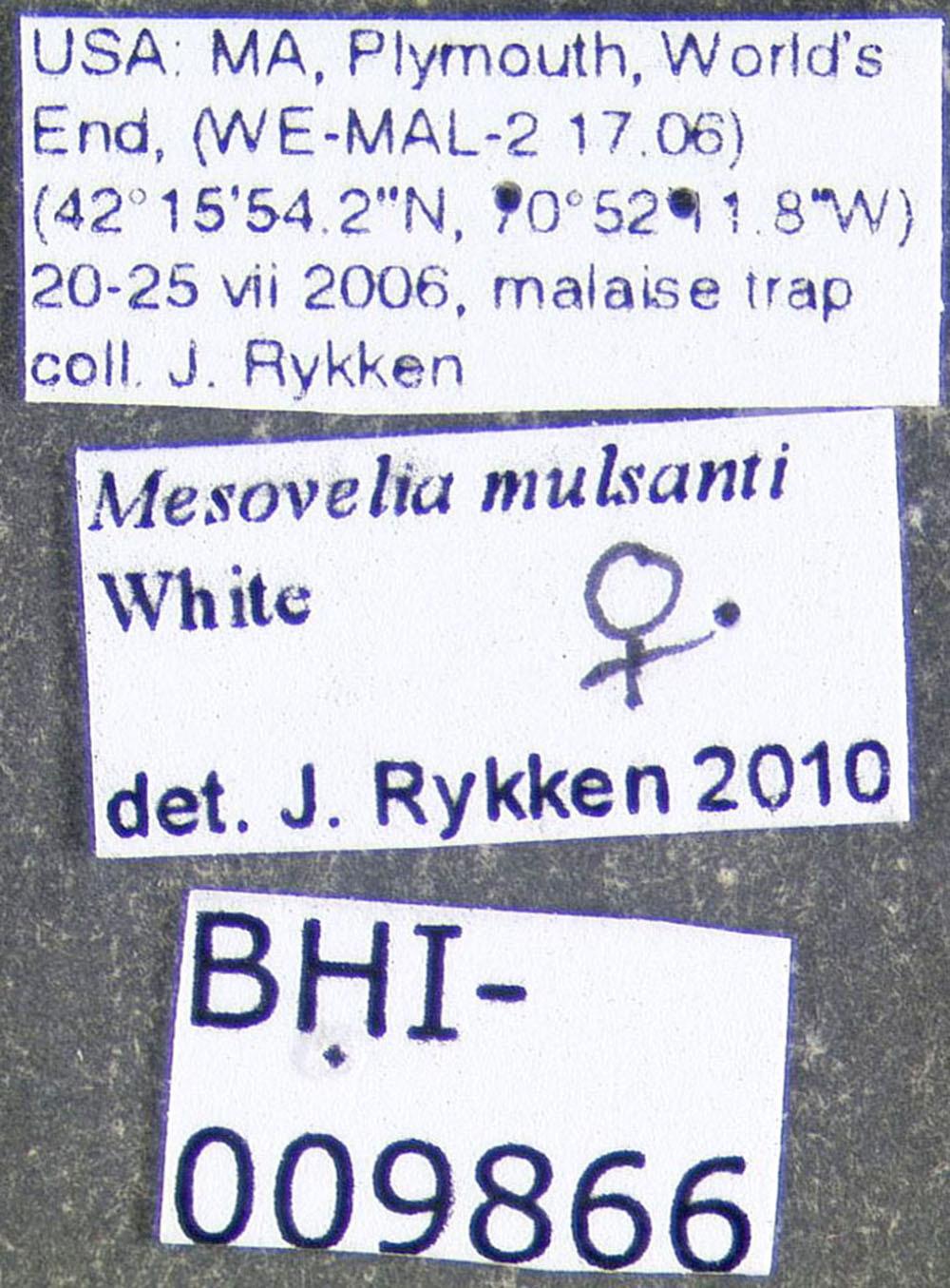 Image of <i>Mesovelia mulsanti</i> White 1879
