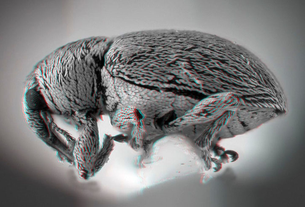 Image of <i>Tychius meliloti</i> Stephens 1829
