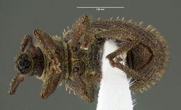 Image of <i>Cathormiocerus aristatus</i> (Gyllenhal 1827)