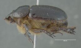 Image of <i>Tomarus gibbosus</i> (Degeer 1774)