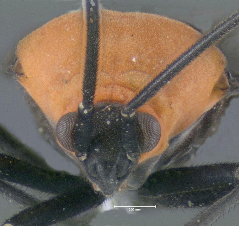 Image of <i>Prepops insitivus</i> (Say 1832)