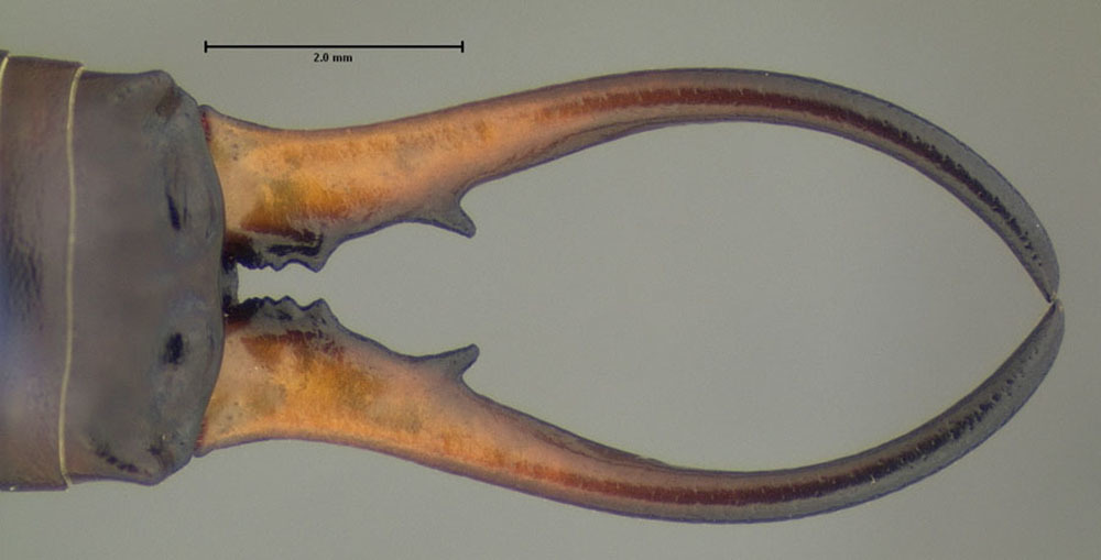 Image of Common European earwig