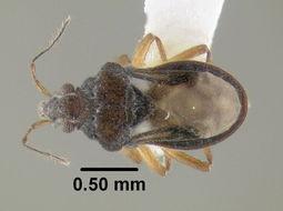 Image of Hebrus Velvet Water Bug