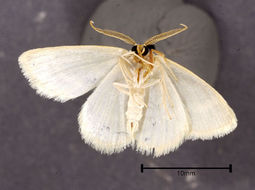 Image of Blackberry Looper Moth