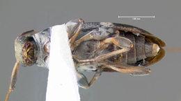 Image of <i>Urgleptes querci</i> (Fitch 1859)