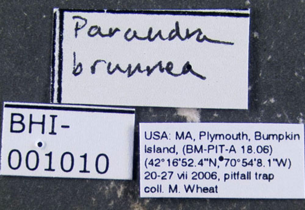 Image of <i>Parandra brunnea</i> Fabricius 1798