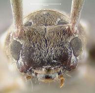 Image of <i>Hyperplatys maculata</i> Haldeman 1847