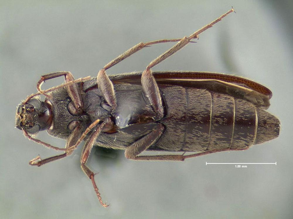 Image of <i>Synchroa punctata</i> Newman 1838