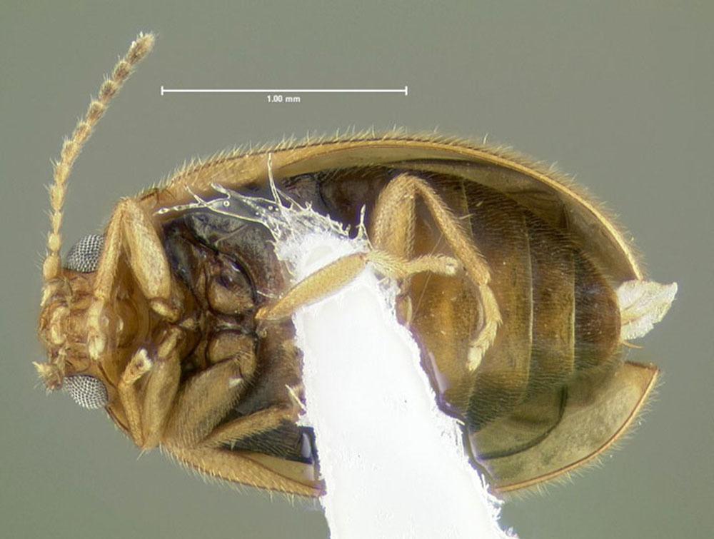 Image of <i>Cyphon modestus</i> (Le Conte 1853)