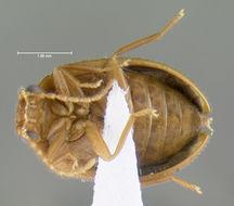 Image of <i>Prionocyphon discoideus</i> (Say 1825)