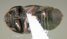 Image of <i>Brachypterolus pulicarius</i> (Linnaeus 1758)