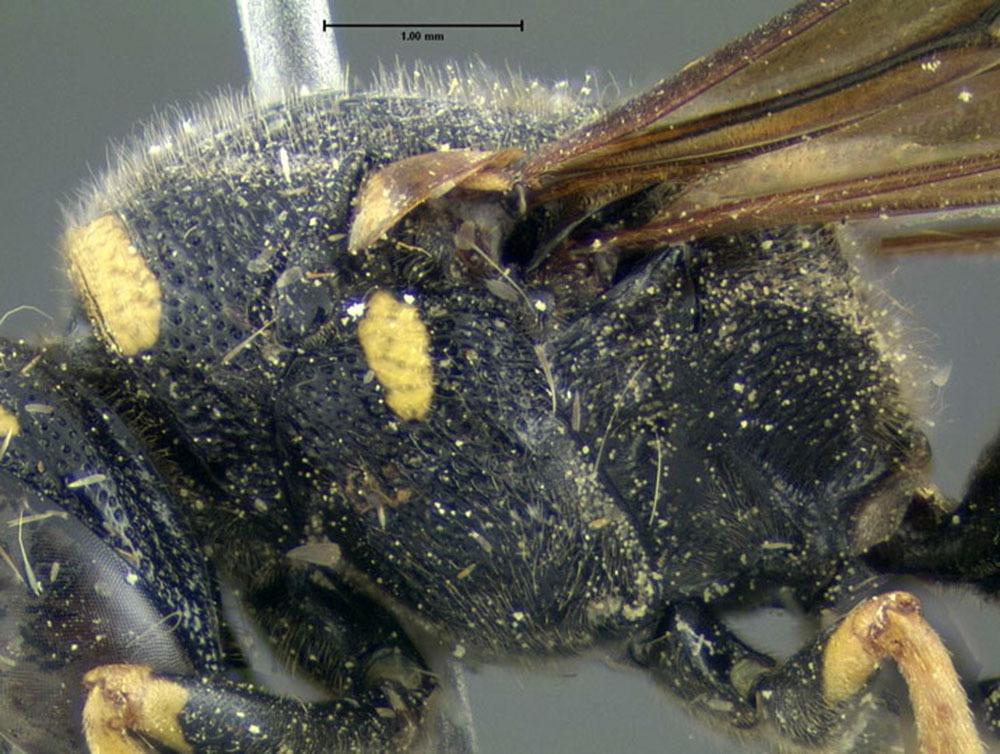Image of <i>Euodynerus foraminatus</i> (de Saussure 1853)
