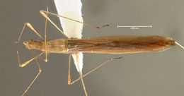 Image of <i>Neoneides muticus</i> (Say 1832)