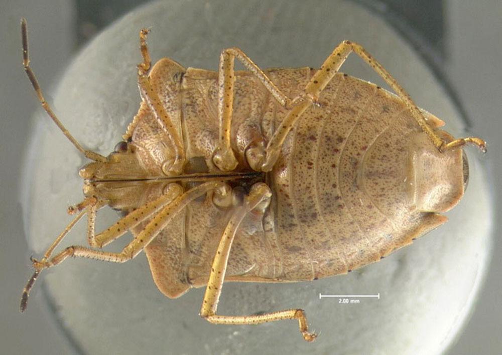 Image of Brown Stink Bug