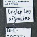 Image of <i>Urgleptes signatus</i> (Le Conte 1852)