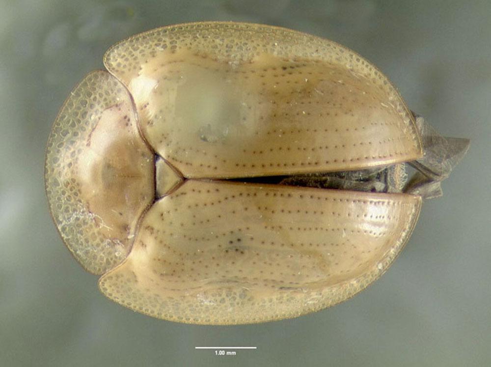 Image of <i><i>Charidotella</i></i> (Charidotella) <i>sexpunctata bicolor</i> (Fabricius 1798)