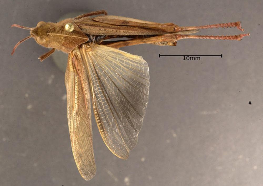 Image of Green-striped Grasshopper